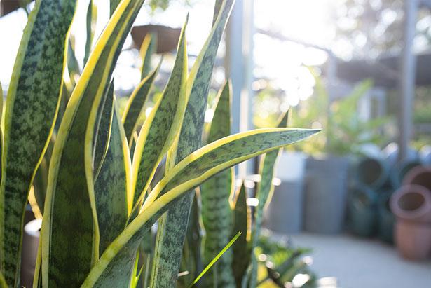 Arces Noosa - Acres Garden Centre